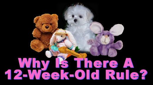 "Why does a Maltese puppy need to be 12 weeks old before going to a new home?? No ""reputable"" Maltese breeder is going to sell you a Maltese puppy that is under 12 weeks old!!!! - AKC Breeders of Maltese puppies and Maltese Show dogs with information about Maltese breeders, Maltese puppies, Maltese dogs, Teacup Maltese puppies, Tcup Maltese puppies, T-cup Maltese puppies, and other Maltese dog and Maltese puppy information"