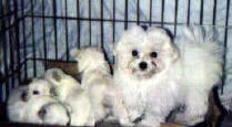 Maltese puppy named Vanity with younger Maltese puppies