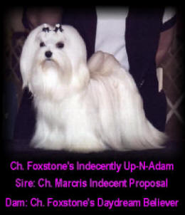 Champion Maltese Dogs at Foxstone Maltese - Adam