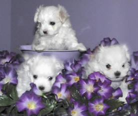 Foxstone Maltese 5 week old puppies - Maltese Dog and Puppy Size/Weight...does it matter??