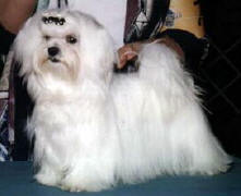 Cruiser as an 8 month old Maltese puppy taking his first points towards his championship