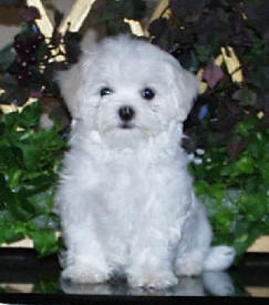 Foxstone Maltese 10 week old puppy - Maltese Dog and Puppy Size/Weight...does it matter??
