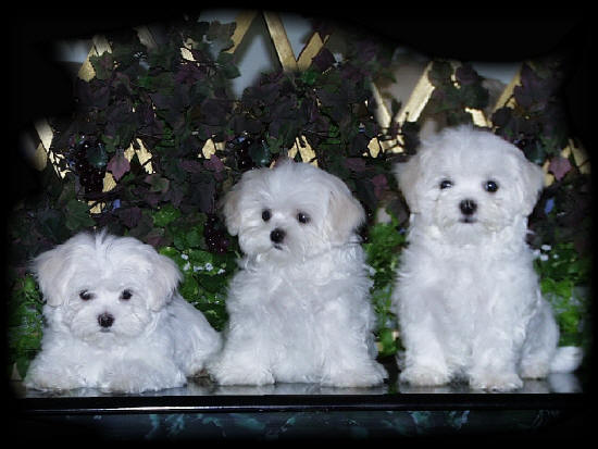 maltese puppies for sale from akc maltese puppy breeder puppy breeders 550x413