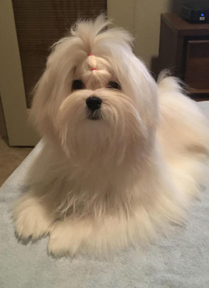 Akc Maltese Puppy Breeder