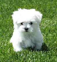 Foxstone Maltese 8 week old puppy - Maltese Dog and Puppy Size/Weight...does it matter??