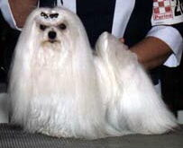 Vanity the show dog - Maltese Show Dog Versus Maltese Pet dog.....What is the difference?