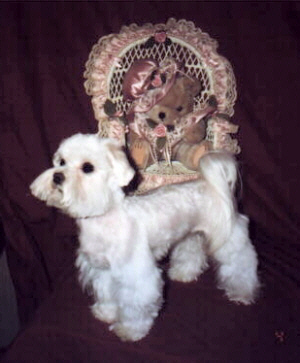 Below are pictures of a couple of my cut-down Maltese.
