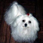 Vanity as an 8 month old Maltese puppy