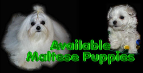 Maltese Puppies / puppy available for pets