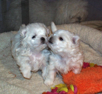 Maltese Puppies on Maltese Puppies  Maltese Puppy  Maltese Puppy Breeders  Maltese