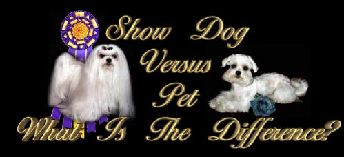 Maltese Show Dog Versus Maltese Pet dog.....What is the difference?
